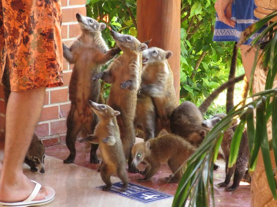 Grand Palladium Kantenah Resort and Spa: People feeding coatis when they shouldn't be!