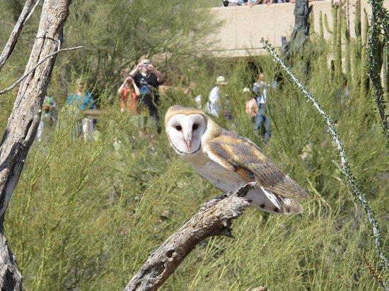 Arizona-Sonora Desert Museum: Raptor free flight show