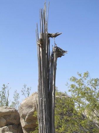 Arizona-Sonora Desert Museum: Saguaro cactus skeleton