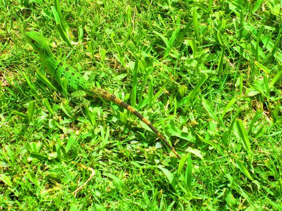 Grand Palladium Kantenah Resort and Spa: Can you see the lizard?