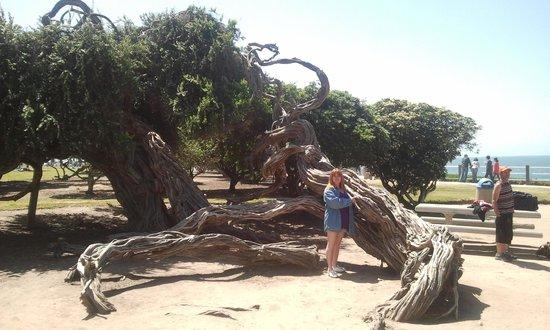 La Jolla Cove : Cool tree in the park