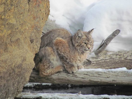 Jackson Hole Snowmobile Tours: Bobcat in YNP