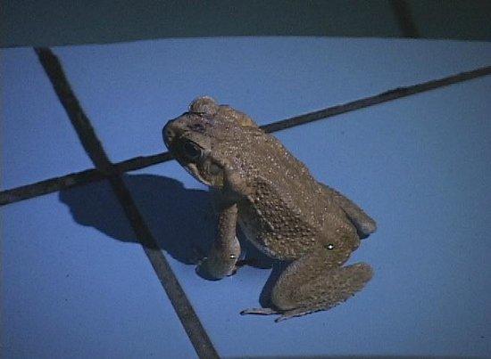 La Purruja Lodge : Seriously large Toad!