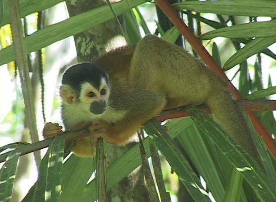 La Purruja Lodge: Squirrel Monkeys are very easy to film