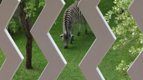 AVANI Victoria Falls Resort: Early morning Zebra grazing