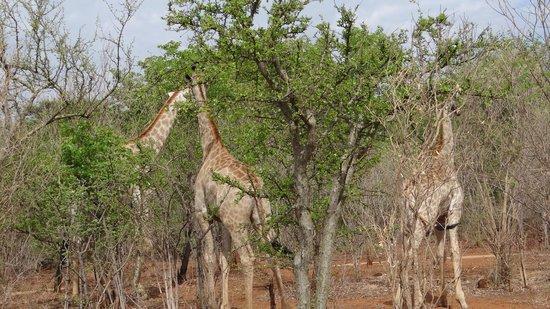AVANI Victoria Falls Resort : Baby giraffes in the jungles around the hotel