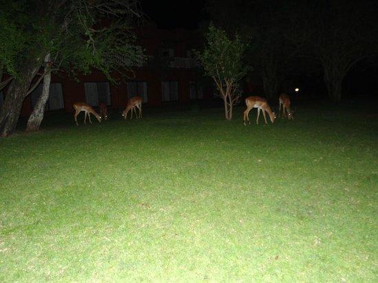 AVANI Victoria Falls Resort : Deer grazing at night, caught on flash of the camera