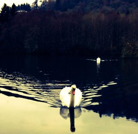 Loch Monzievaird Self Catering Lodges: swans on the loch