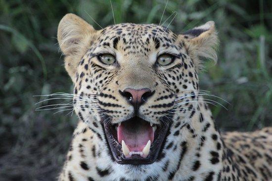 Camp Xakanaxa: Leopard - Xakanaxa