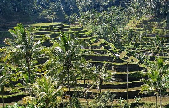 Bali Island Driver And Guide: Ubud Rice Terrace
