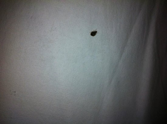 Tibet Guest House: One of the six bed bugs found in my bed.