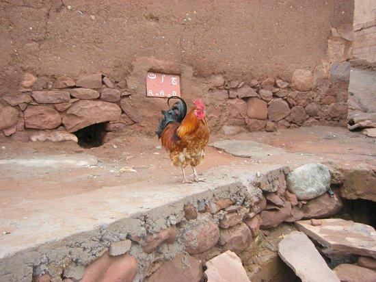 High Atlas Tours - Day Tours: Colourful cockerel in High Atlas village