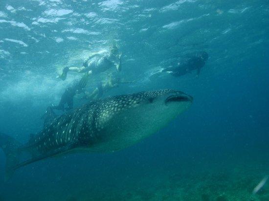 Angaga Island Resort: WHALE SHARK WHILE SNORKELING