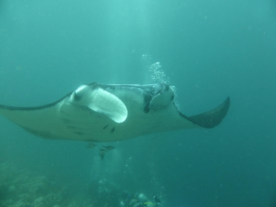 Angaga Island Resort: HALF HOUR WITH MANTAS