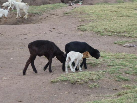 Enchoro Wildlife Camp: Masai livestock..