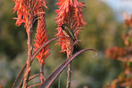 Gorda Springs Resort: hummingbirds outside our door