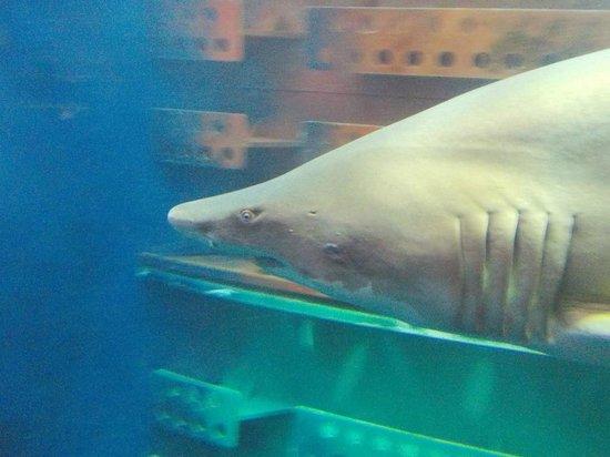 Grand Aquarium : Squalo toro