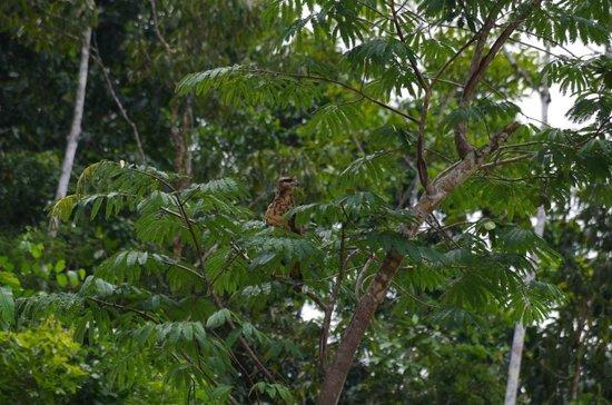 Tapiche Reserve: Common Eagle