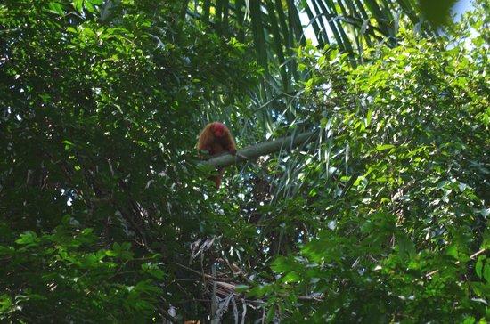 Tapiche Reserve: Red Huakari Monkey