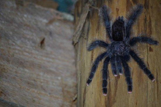 Tapiche Reserve: Pink Toed tarantula