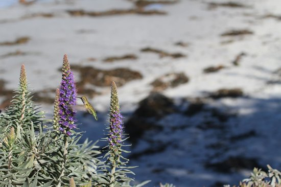 Point Lobos State Reserve: hummingbird by the sea
