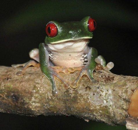 Drake Bay, Kosta Rika: red eyed tree frog