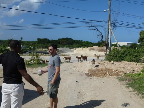Your Jamaican Tour Guide: Enjoying a fresh cucumber juice and watching some very smart goats!