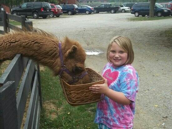 Stapp Circle S Ranch: feeding a llama