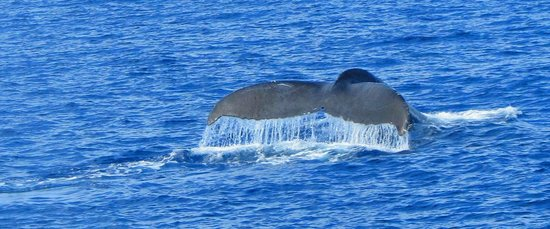 Pacific Whale Foundation : Fluke 1