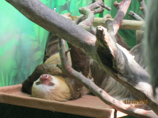 Sloth Sanctuary of Costa Rica: Sloth lying around