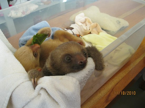 Sloth Sanctuary of Costa Rica: Baby Sloth!!!