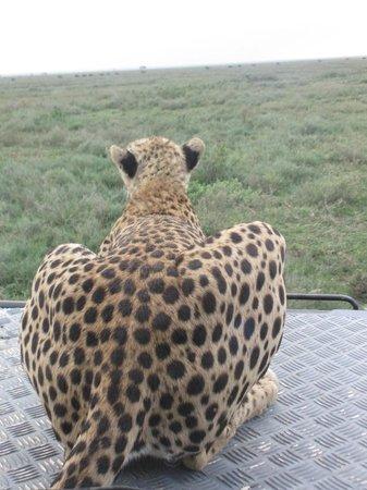 Ndutu Safari Lodge : Cheetah on our bonnet 1