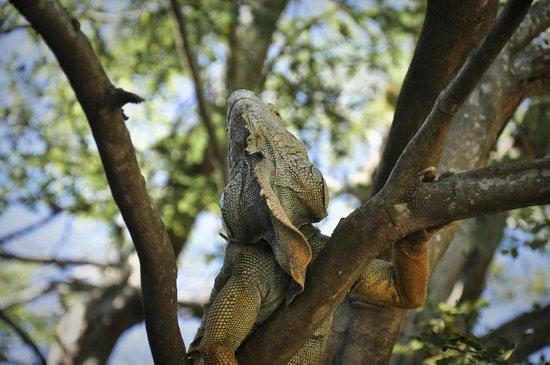 Bananarama Beach and Dive Resort: Iguana Farm