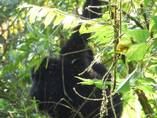 Gorillas and Wildlife Safaris : Gorillas