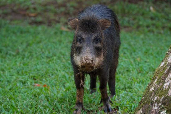 Bosque del Cabo Rainforest Lodge : White-lipped peccary