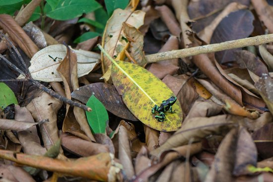 Bosque del Cabo Rainforest Lodge: Green-and-black poison dart frog off Pacific trail