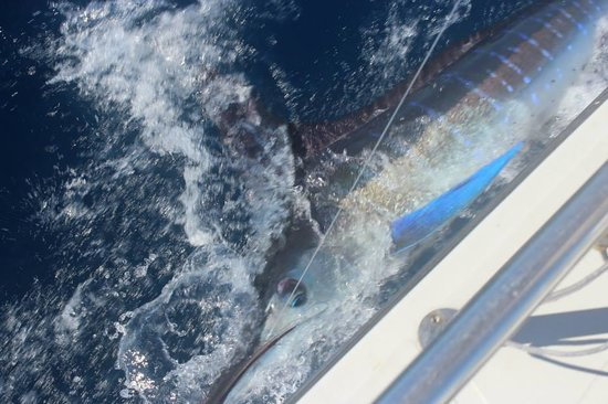 Guerita Sportfishing: Marlin Before Release