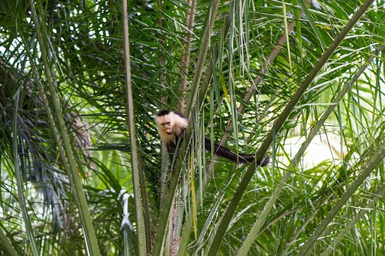 Bosque del Cabo Rainforest Lodge: White-faced Capuchin monkey