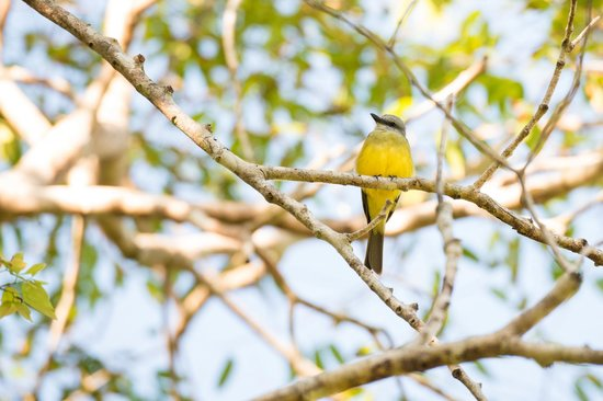Bosque del Cabo Rainforest Lodge: Grey-capped flycatcher watching