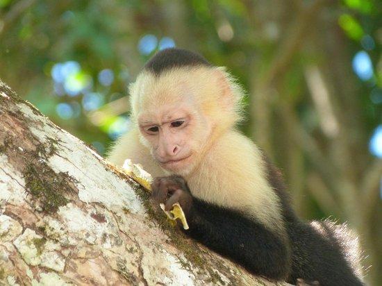 Playa Manuel Antonio: mono por comerce un sapo