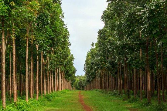 Wai Koa Loop: Mahogany forest