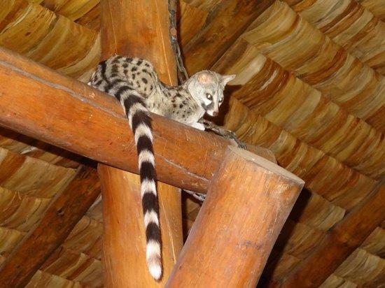 Ndutu Safari Lodge : Resident genets