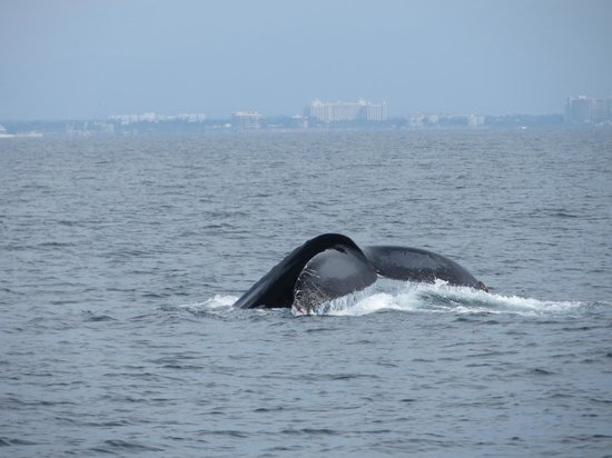 Red Dolphin Sailing Charters: Humpback Whale with Vallarta in the background