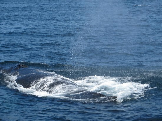 Red Dolphin Sailing Charters: Humpback Whale