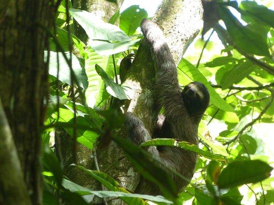 Cahuita National Park : Faultier