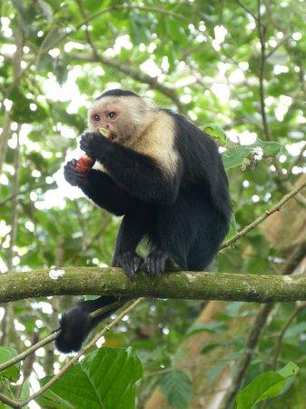 Cahuita National Park : Kapuzineraffe