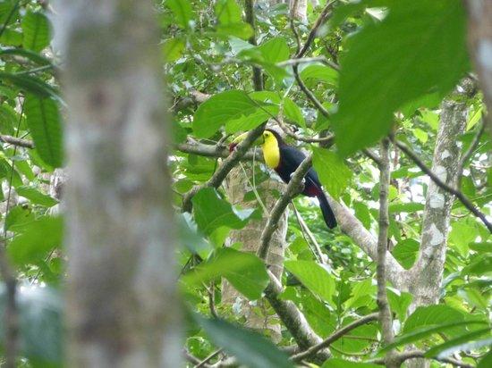 Cahuita National Park : Fischertukan (leider weit weg)