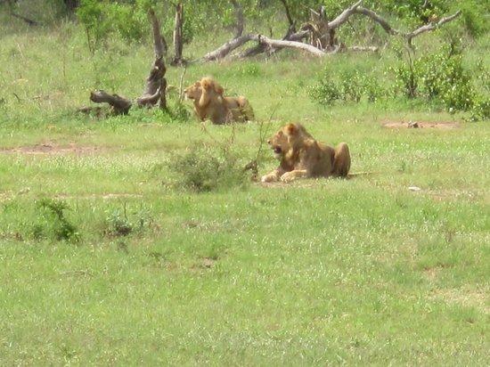Bushfind - Day Tours: Lions