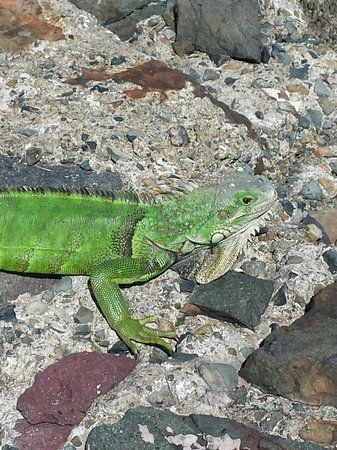Caribe Hilton San Juan: Iguanas are everywhere on the hotel grounds!