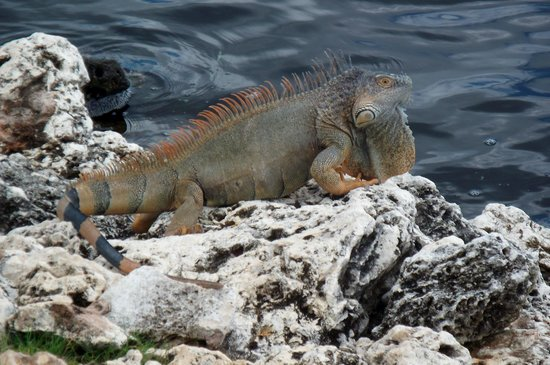 The Ritz-Carlton Grand Cayman: Iguana at the golf course